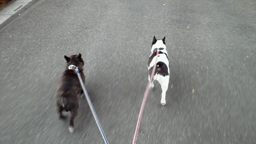 愛犬散歩なう。さいたま曇り空なり、お早うございますっ! #ohayo
