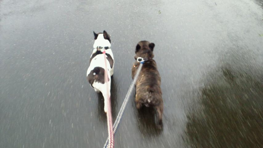 お早うございますっ!土砂降りで〜す愛犬散歩な〜う。