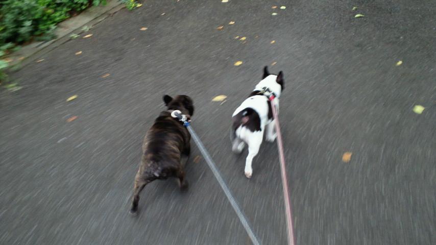 愛犬散歩なう。涼しくてめんどくさい程元気な件。(爆)