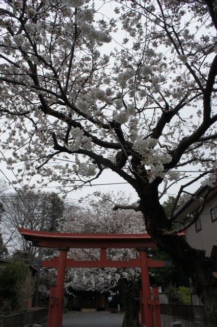 氏神の桜も綺麗、そして。。。